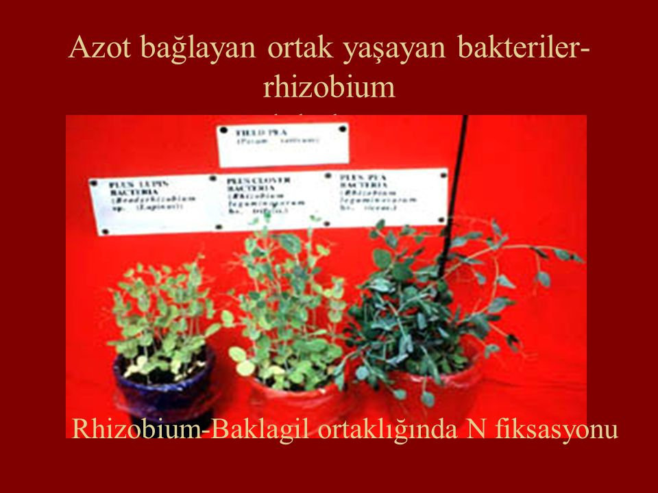 Azot bağlayan ortak yaşayan bakteriler- rhizobium nodül oluşumu Rhizobium-Baklagil ortaklığında N fiksasyonu