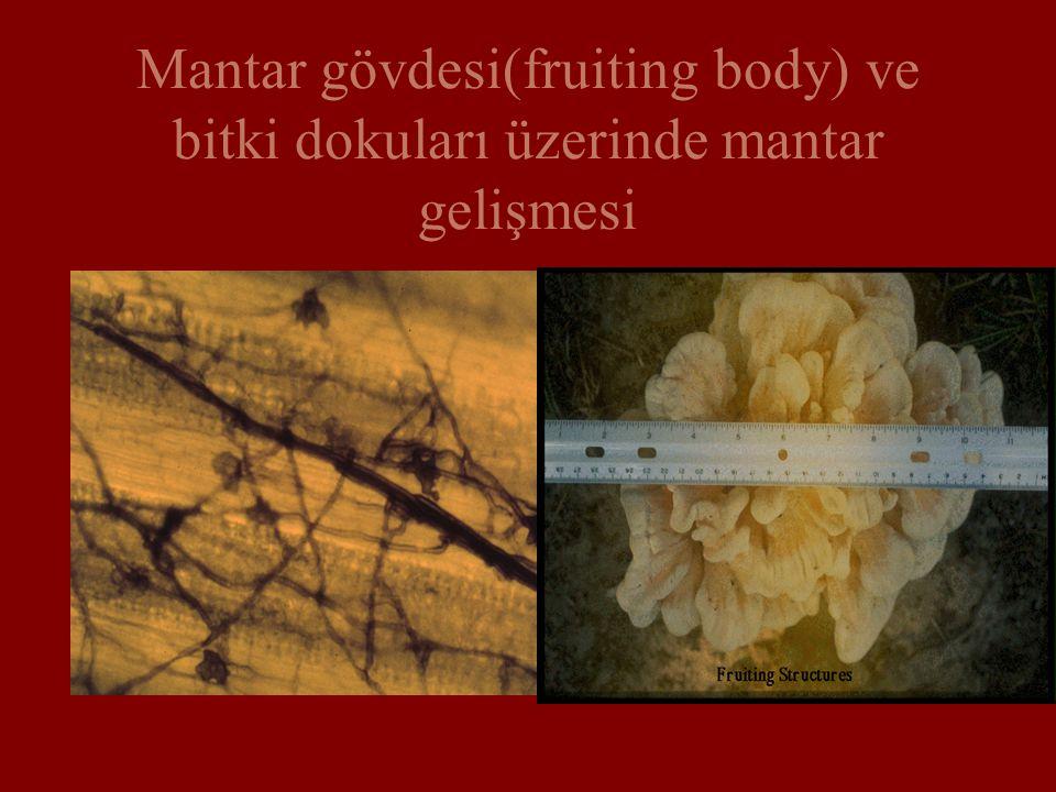 Mantar gövdesi(fruiting body) ve bitki dokuları üzerinde mantar gelişmesi
