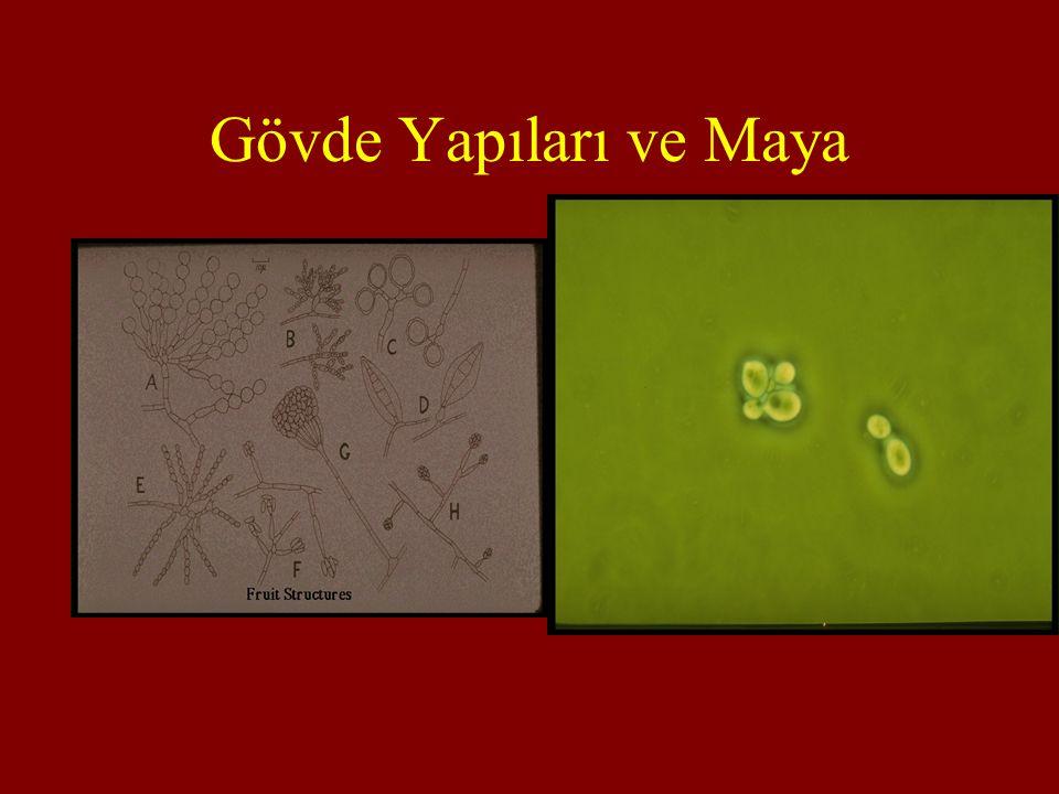Gövde Yapıları ve Maya