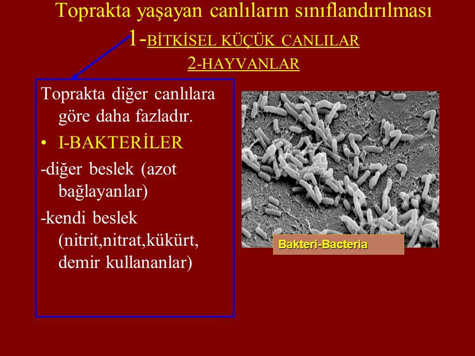 Toprakta yaşayan canlıların sınıflandırılması 1- BİTKİSEL KÜÇÜK CANLILAR 2 -HAYVANLAR Toprakta diğer canlılara göre daha fazladır. I-BAKTERİLER -diğer