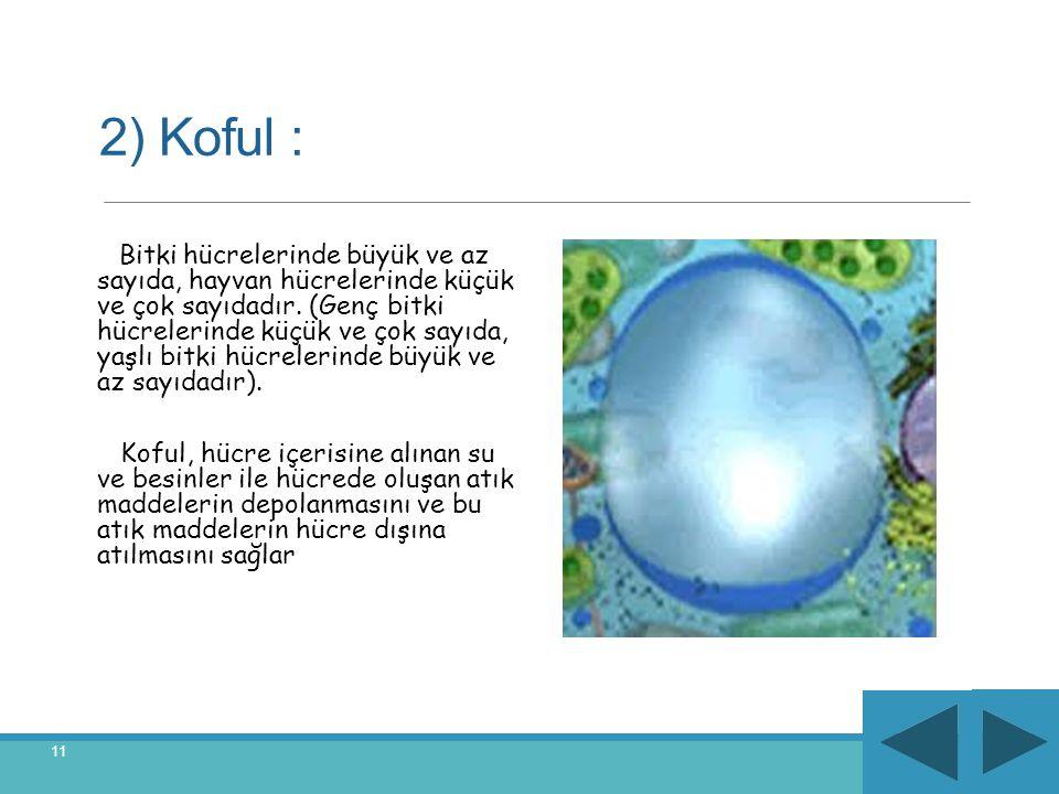 2) Koful : Bitki hücrelerinde büyük ve az sayıda, hayvan hücrelerinde küçük ve çok sayıdadır. (Genç bitki hücrelerinde küçük ve çok sayıda, yaşlı bitk