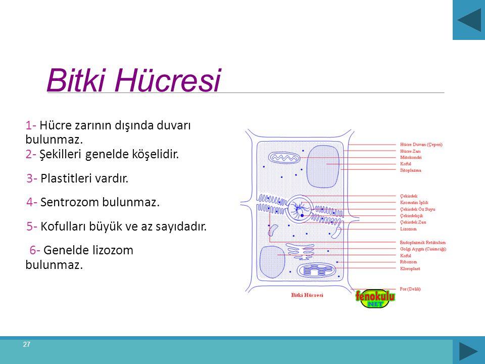 Bitki Hücresi 1- Hücre zarının dışında duvarı bulunmaz. 2- Şekilleri genelde köşelidir. 3- Plastitleri vardır. 4- Sentrozom bulunmaz. 5- Kofulları büy