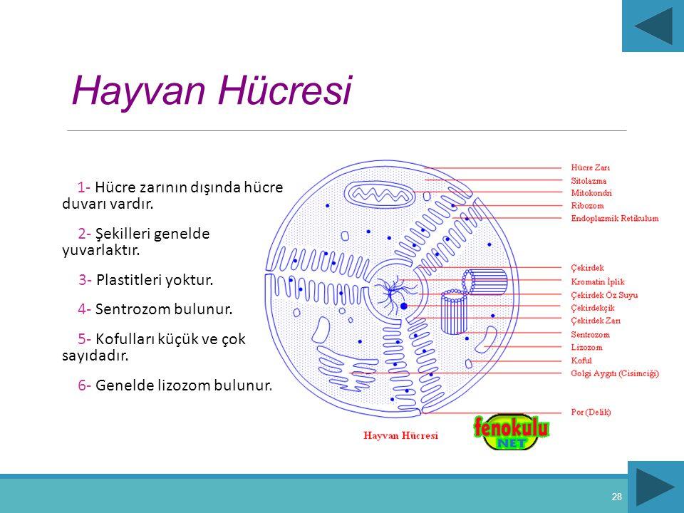 Hayvan Hücresi 1- Hücre zarının dışında hücre duvarı vardır. 2- Şekilleri genelde yuvarlaktır. 3- Plastitleri yoktur. 4- Sentrozom bulunur. 5- Kofulla