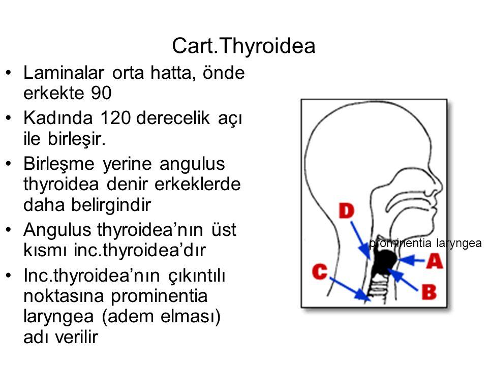 Cart.Thyroidea Laminalar orta hatta, önde erkekte 90 Kadında 120 derecelik açı ile birleşir.