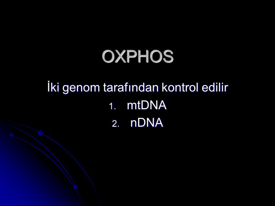 OXPHOS İki genom tarafından kontrol edilir 1. mtDNA 2. nDNA