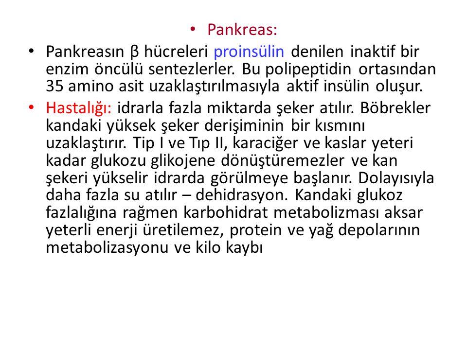 Pankreas: Pankreasın β hücreleri proinsülin denilen inaktif bir enzim öncülü sentezlerler. Bu polipeptidin ortasından 35 amino asit uzaklaştırılmasıyl