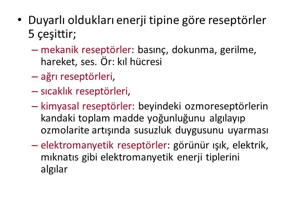 Duyarlı oldukları enerji tipine göre reseptörler 5 çeşittir; – mekanik reseptörler: basınç, dokunma, gerilme, hareket, ses. Ör: kıl hücresi – ağrı res