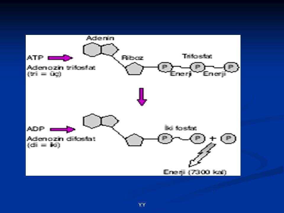 -Bir ATP molekülünün en ucundaki fosfat bağının kırılması ile biyolojik sistem 7300 kalorilik bir enerji kazanır.