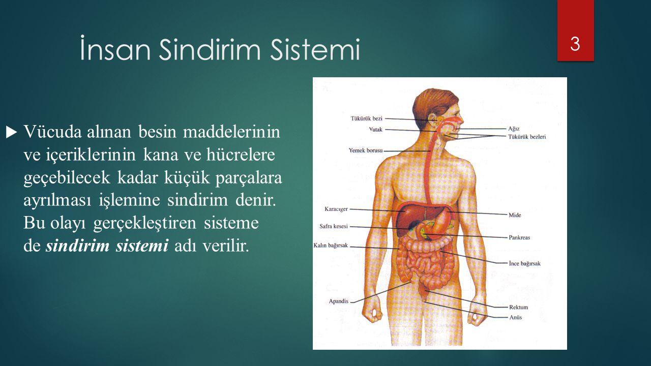 İnsan Sindirim Sistemi  Vücuda alınan besin maddelerinin ve içeriklerinin kana ve hücrelere geçebilecek kadar küçük parçalara ayrılması işlemine sind