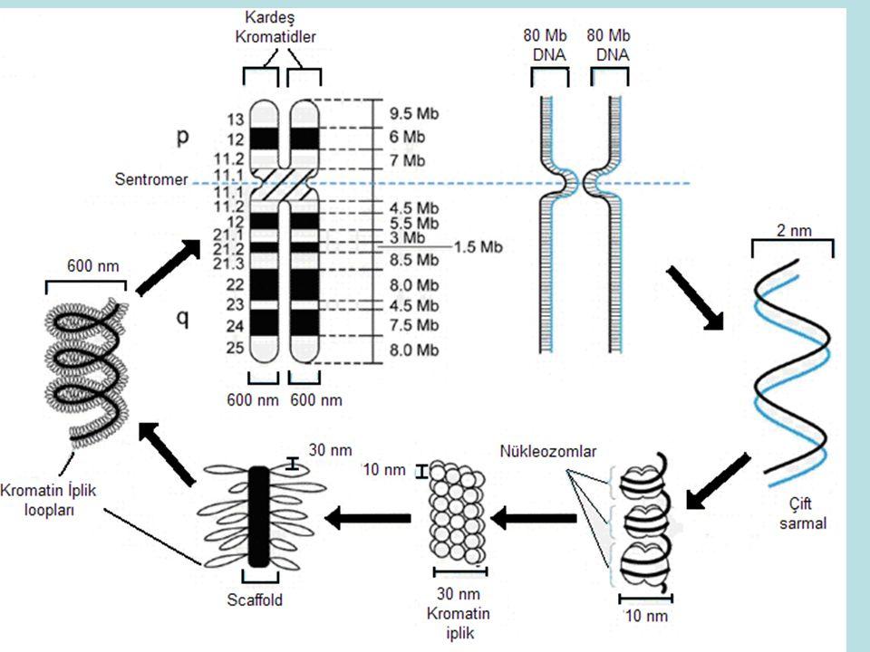 22. kromozomun diğer 22. karomozoma translokasyonu (45,XX,t(22q;22q))