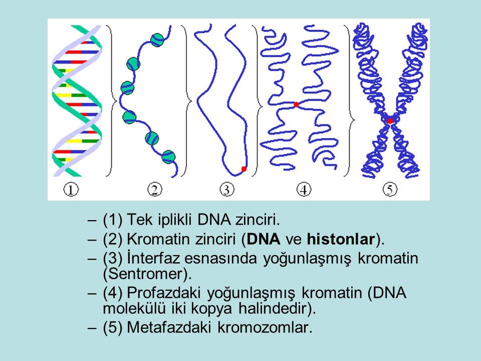 –(1) Tek iplikli DNA zinciri. –(2) Kromatin zinciri (DNA ve histonlar). –(3) İnterfaz esnasında yoğunlaşmış kromatin (Sentromer). –(4) Profazdaki yoğu