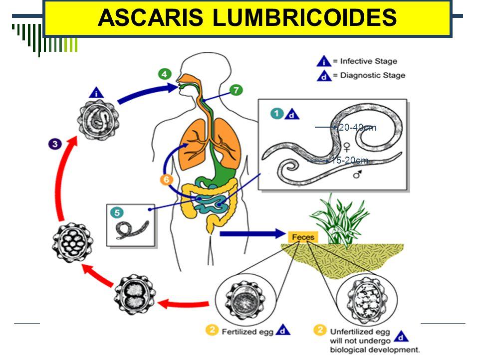 15-20cm 20-40cm ASCARIS LUMBRICOIDES