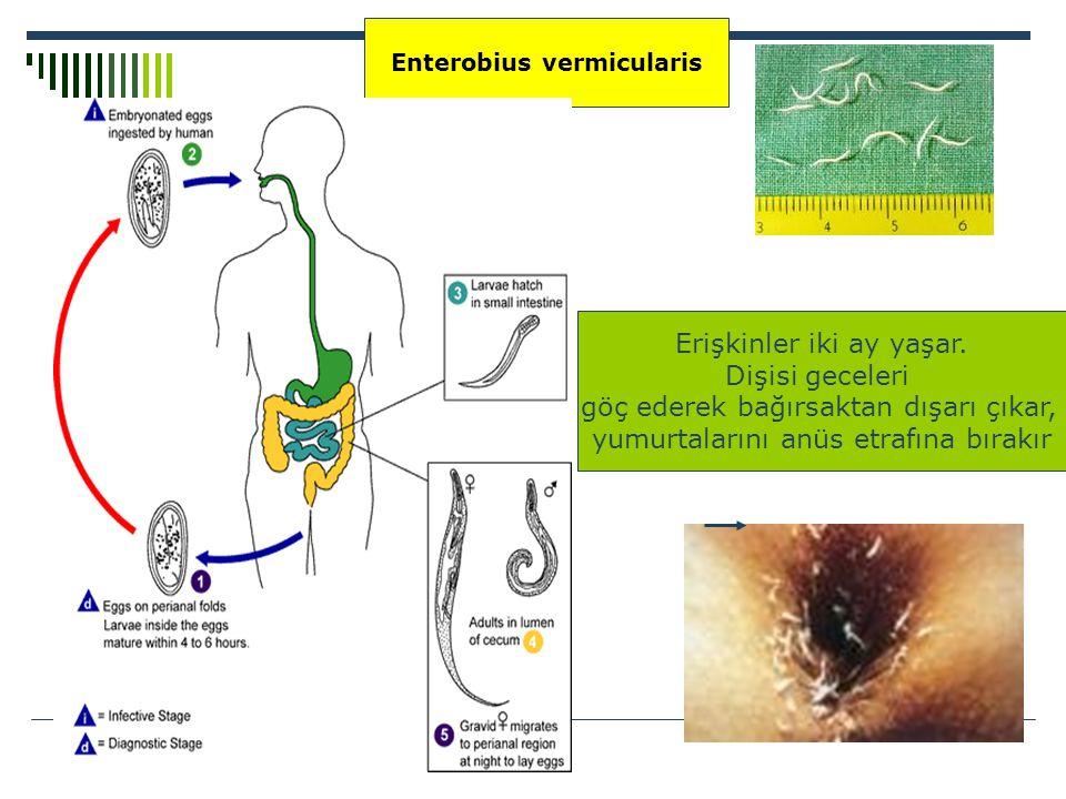 10mm Enterobius vermicularis Erişkinler iki ay yaşar. Dişisi geceleri göç ederek bağırsaktan dışarı çıkar, yumurtalarını anüs etrafına bırakır