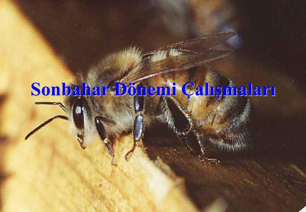 Sonbaharda Yapılacak İşlemler  Tüm kolonilerde hastalık ve parazitlere, özellikle varroaya karşı mücadele yapılmalıdır.
