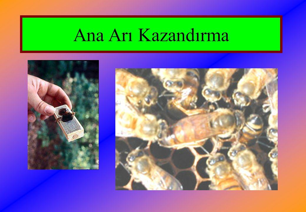 Sonbaharda Yapılacak İşlemler  Arılıkta bulunan zayıf koloniler birleştirilmelidir.
