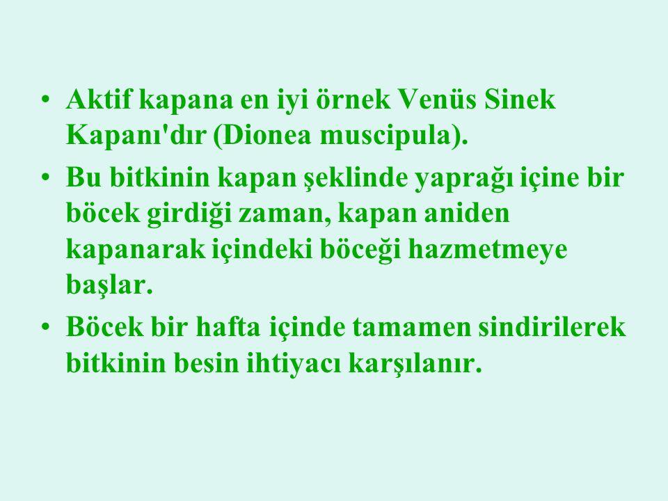 Aktif kapana en iyi örnek Venüs Sinek Kapanı dır (Dionea muscipula).