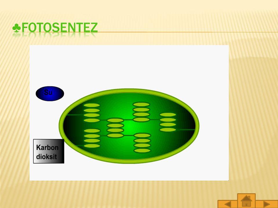 Güneş panellerinde güneş enerjisinin elektrik enerjisine dönüşmesi gibi bitkilerde de fotosentez sırasında güneş ışığı yaprağın üzerine düşerek yaprak hücrelerindeki kloroplastlarda bulunan klorofillere ulaşır.