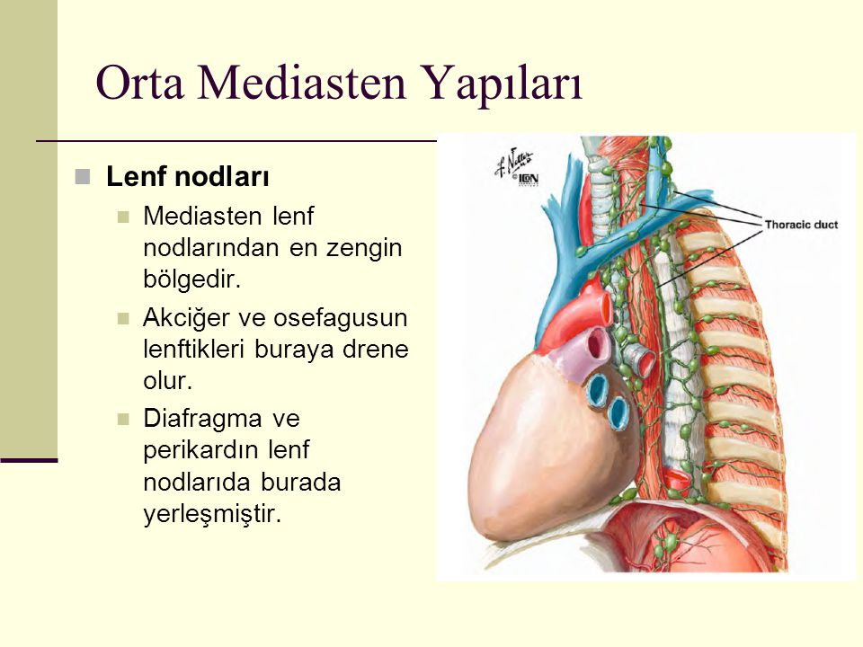 Orta Mediasten Yapıları Lenf nodları Mediasten lenf nodlarından en zengin bölgedir. Akciğer ve osefagusun lenftikleri buraya drene olur. Diafragma ve