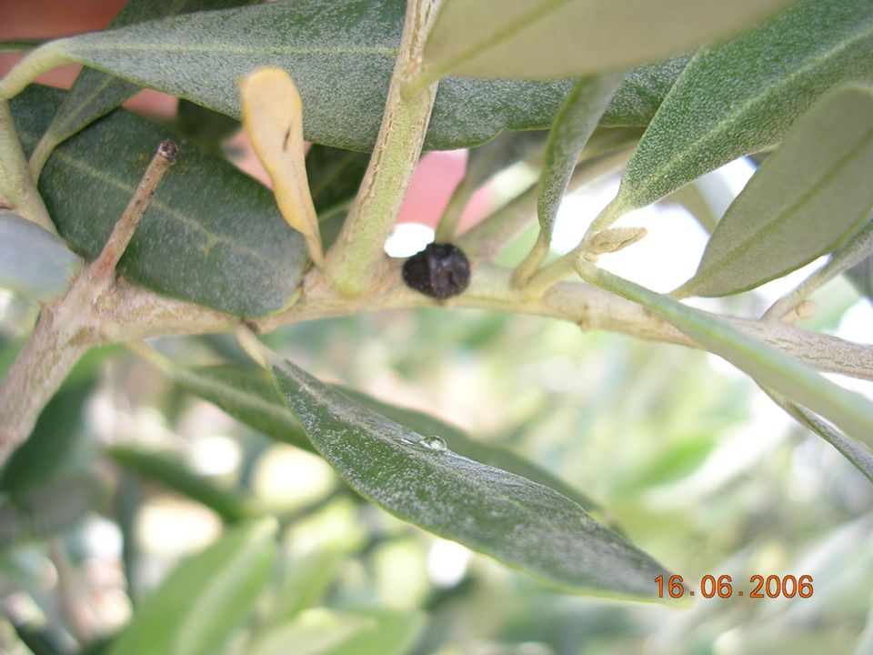1.ve 2. Dönem Kara koşnil Larvası