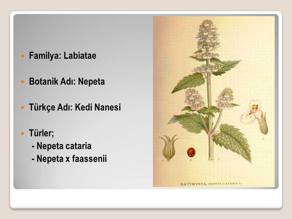 Familya: Labiatae Botanik Adı: Nepeta Türkçe Adı: Kedi Nanesi Türler; - Nepeta cataria - Nepeta x faassenii