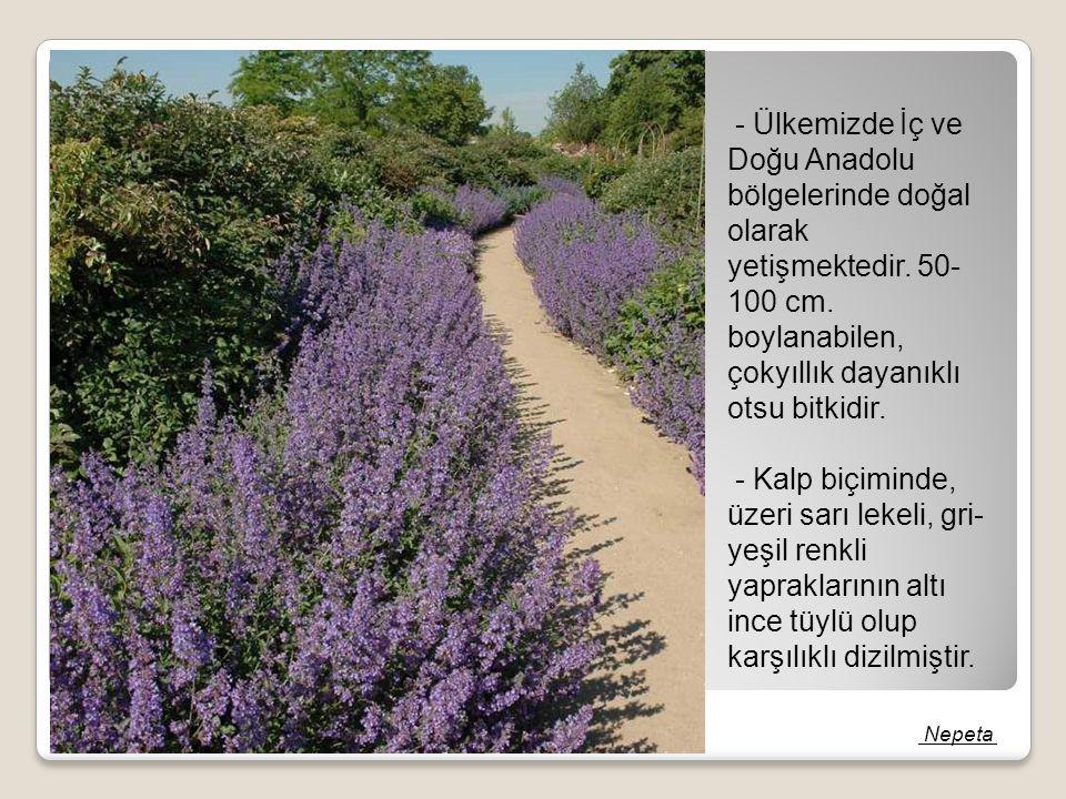 - Ülkemizde İç ve Doğu Anadolu bölgelerinde doğal olarak yetişmektedir. 50- 100 cm. boylanabilen, çokyıllık dayanıklı otsu bitkidir. - Kalp biçiminde,