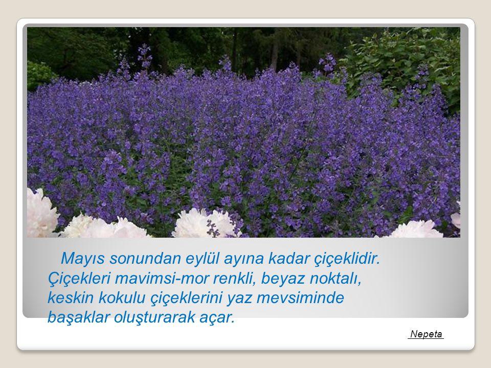 Mayıs sonundan eylül ayına kadar çiçeklidir. Çiçekleri mavimsi-mor renkli, beyaz noktalı, keskin kokulu çiçeklerini yaz mevsiminde başaklar oluşturara