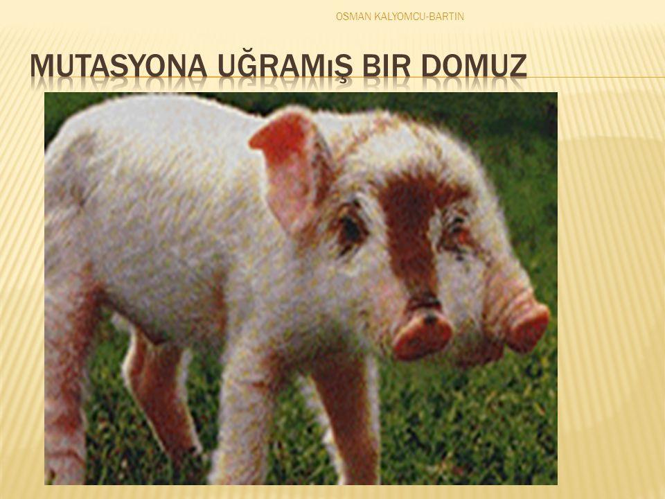 OSMAN KALYOMCU-BARTIN