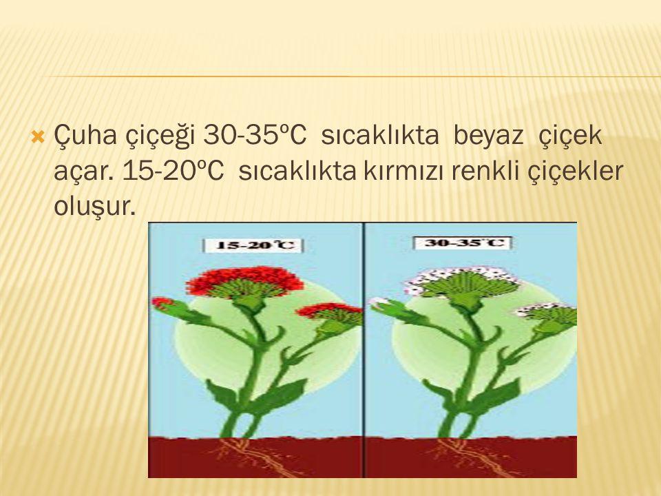  Çuha çiçeği 30-35ºC sıcaklıkta beyaz çiçek açar. 15-20ºC sıcaklıkta kırmızı renkli çiçekler oluşur.