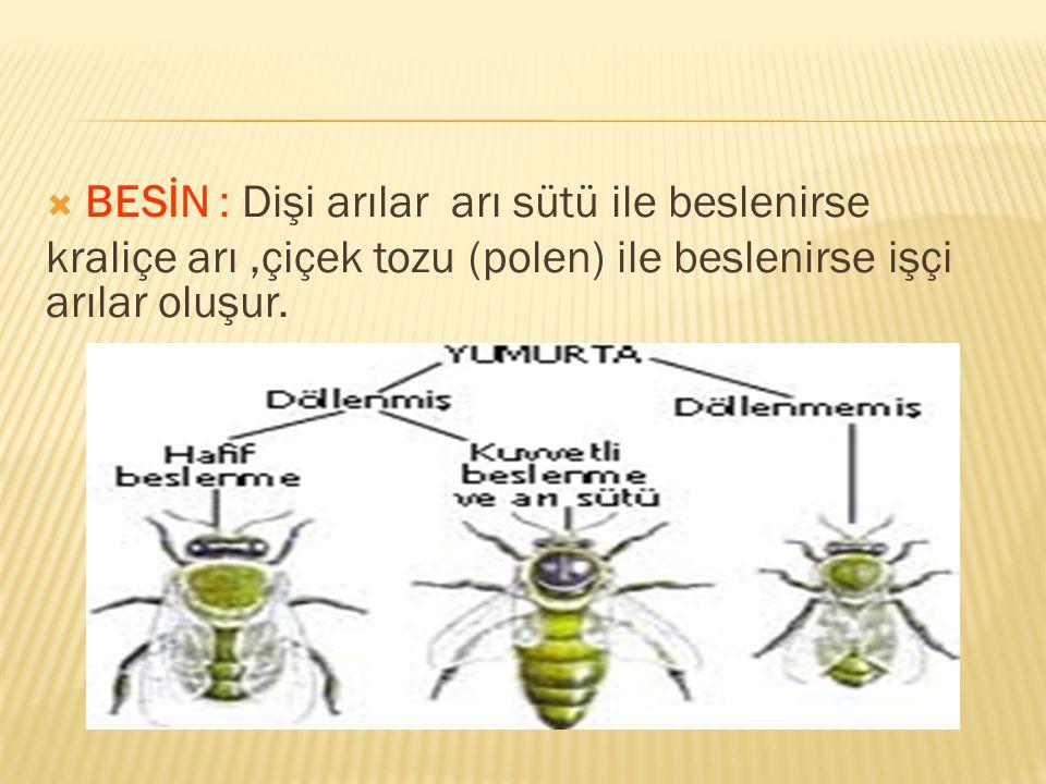 BESİN : Dişi arılar arı sütü ile beslenirse kraliçe arı,çiçek tozu (polen) ile beslenirse işçi arılar oluşur.