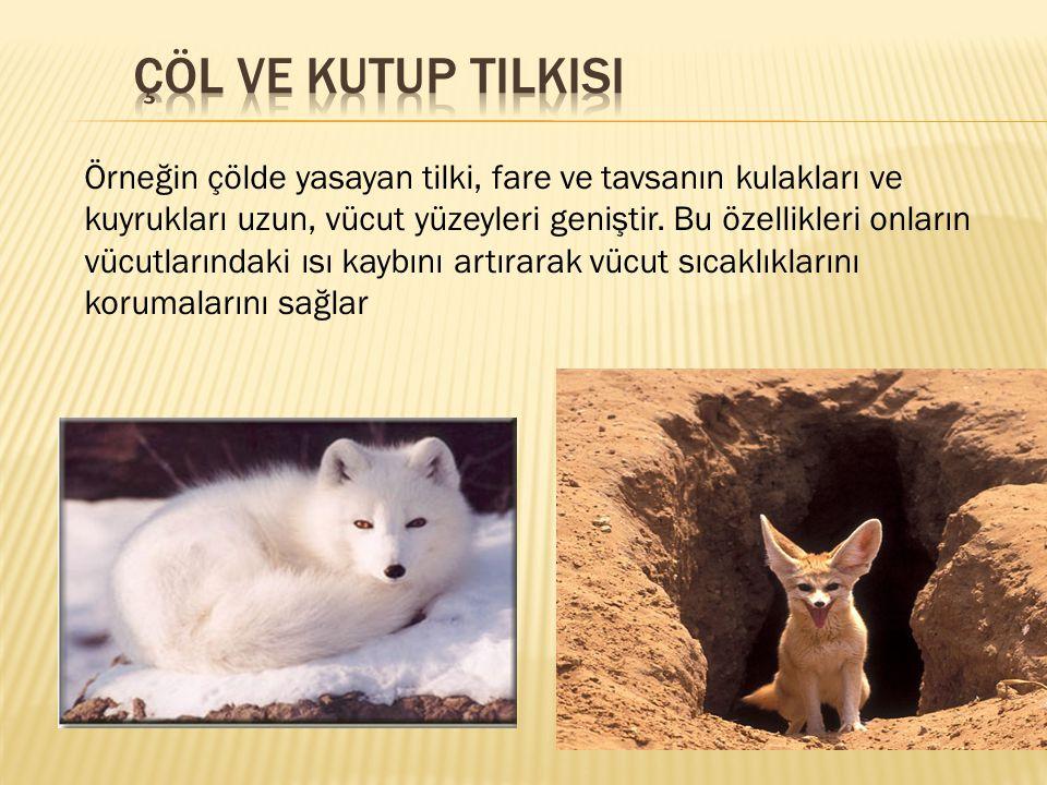 Örneğin çölde yasayan tilki, fare ve tavsanın kulakları ve kuyrukları uzun, vücut yüzeyleri geniştir. Bu özellikleri onların vücutlarındaki ısı kaybın