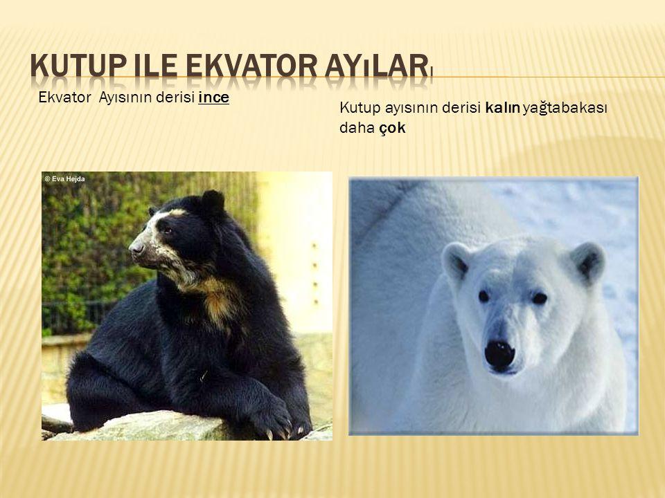 Ekvator Ayısının derisi ince Kutup ayısının derisi kalın yağtabakası daha çok