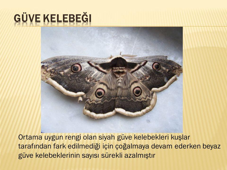 Ortama uygun rengi olan siyah güve kelebekleri kuşlar tarafından fark edilmediği için çoğalmaya devam ederken beyaz güve kelebeklerinin sayısı sürekli
