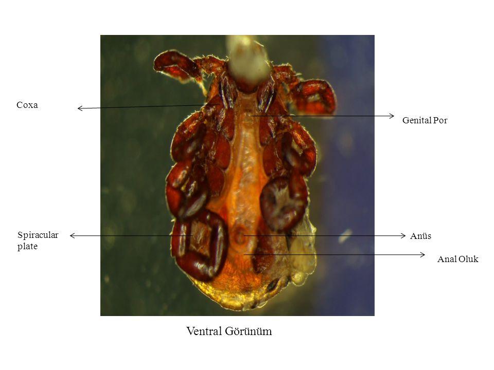 Genital Por Anüs Spiracular plate Coxa Ventral Görünüm Anal Oluk