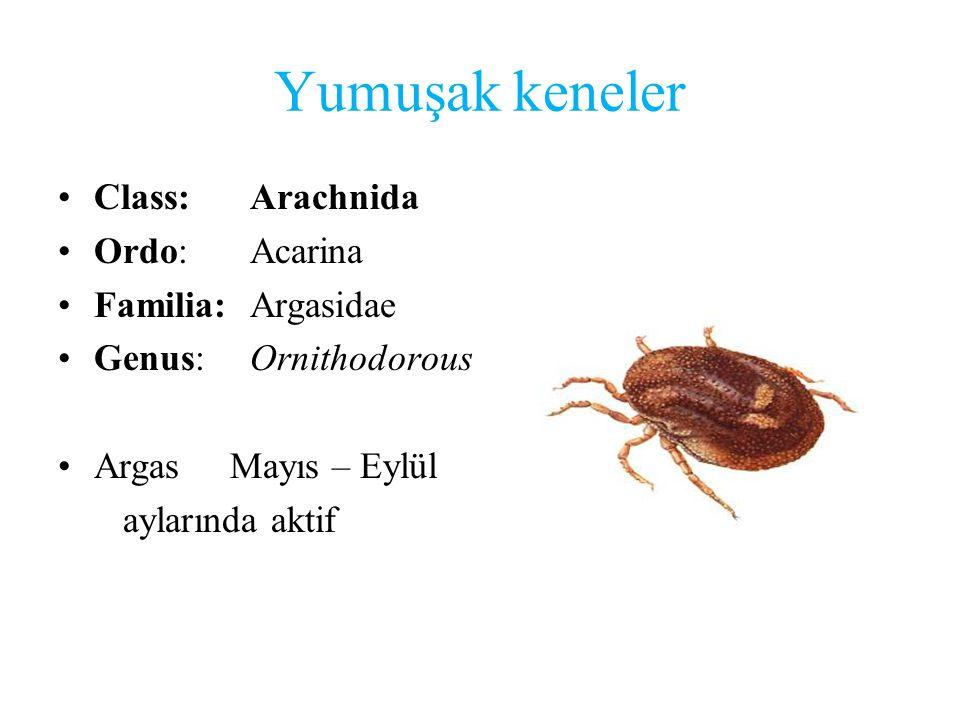 Yumuşak keneler Class:Arachnida Ordo:Acarina Familia:Argasidae Genus:Ornithodorous Argas Mayıs – Eylül aylarında aktif