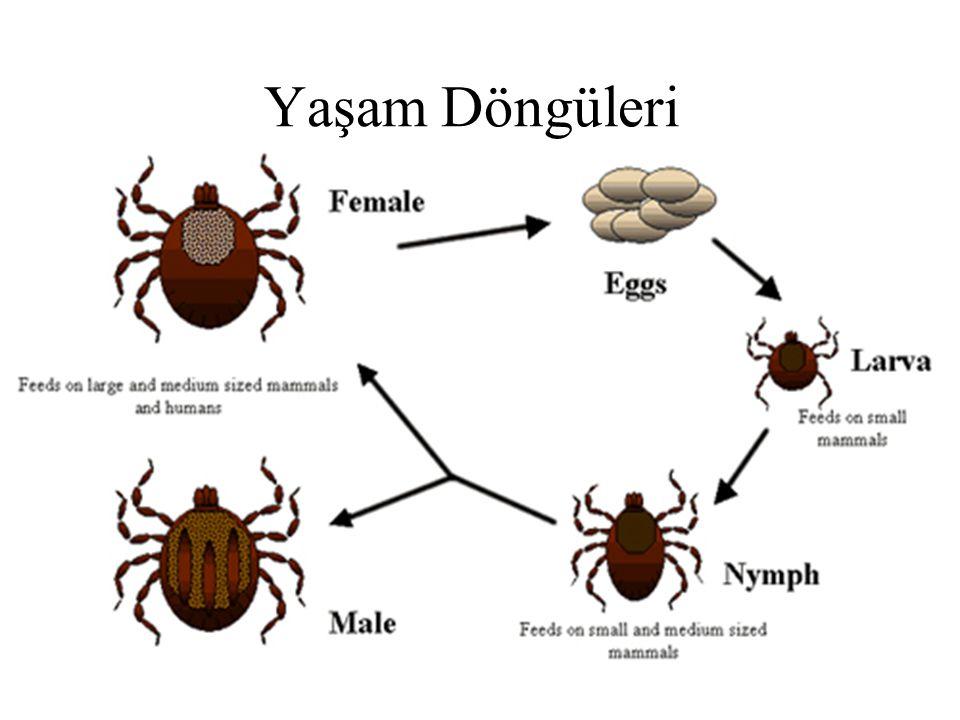 Demodex folicorum