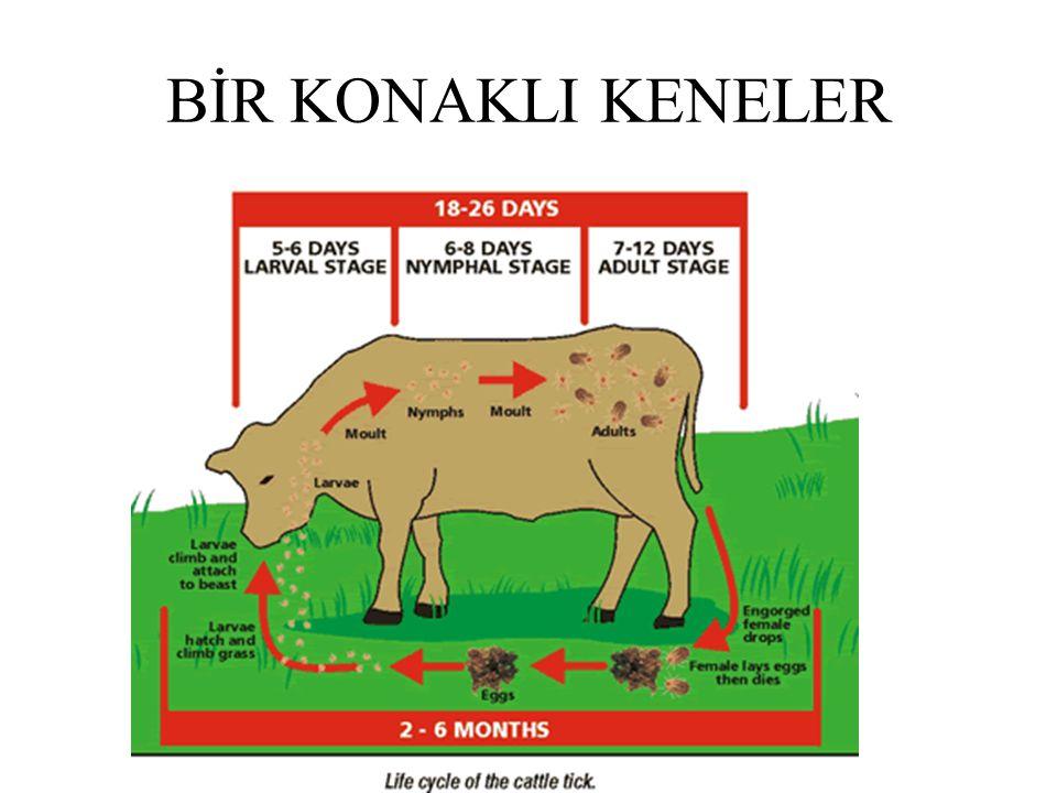 İKİ KONAKLI KENELER