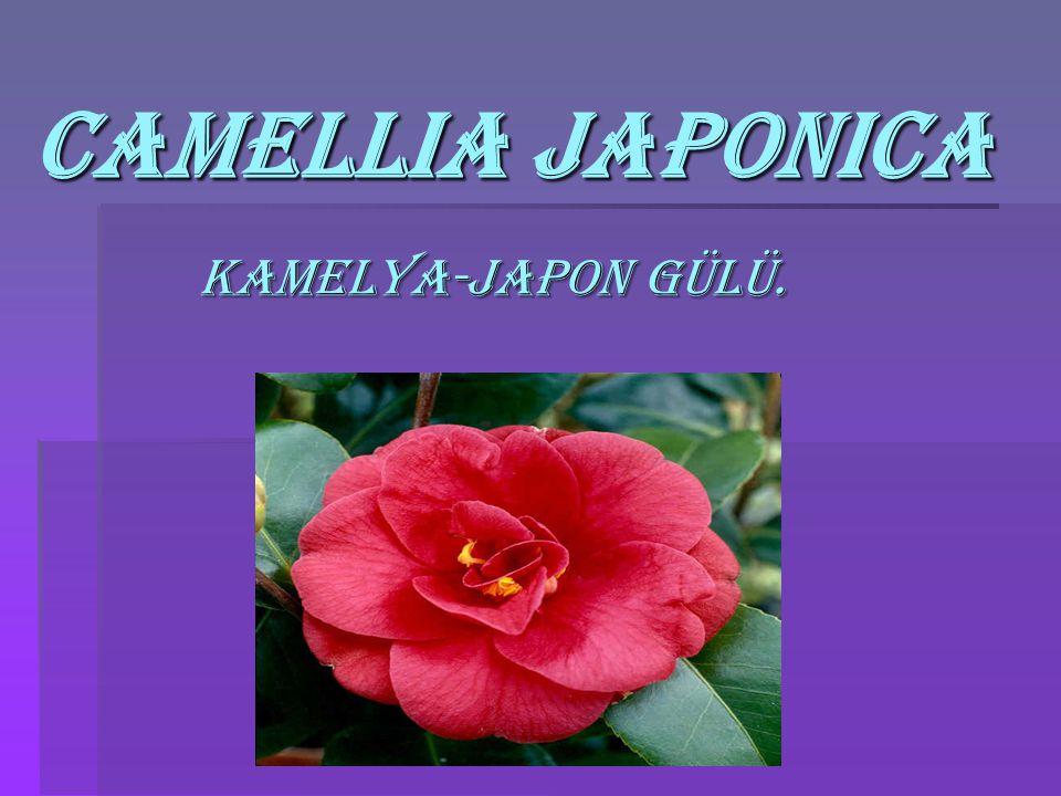 Camellia japonica Camellia japonica