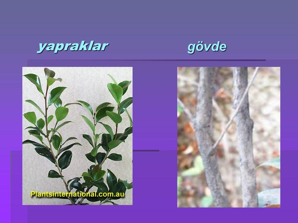  Sıcaklık:Serin ortamları sever(geceleri 5-10 derece)bitki sıcaklık değişikliklerine karşı hassastır.
