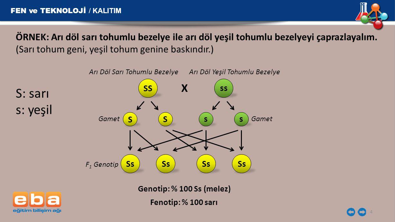 FEN ve TEKNOLOJİ / KALITIM 5 SS ss Arı Döl Sarı Tohumlu Bezelye Arı Döl Yeşil Tohumlu Bezelye X 1.