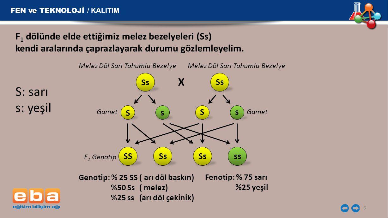 FEN ve TEKNOLOJİ / KALITIM 6 F 1 dölünde elde ettiğimiz melez bezelyeleri (Ss) kendi aralarında çaprazlayarak durumu gözlemleyelim. S: sarı s: yeşil S