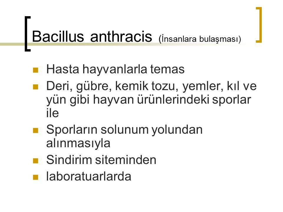 Bacillus anthracis ( İnsanlara bulaşması) Hasta hayvanlarla temas Deri, gübre, kemik tozu, yemler, kıl ve yün gibi hayvan ürünlerindeki sporlar ile Sp