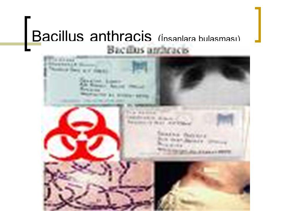 Bacillus anthracis ( İnsanlara bulaşması)