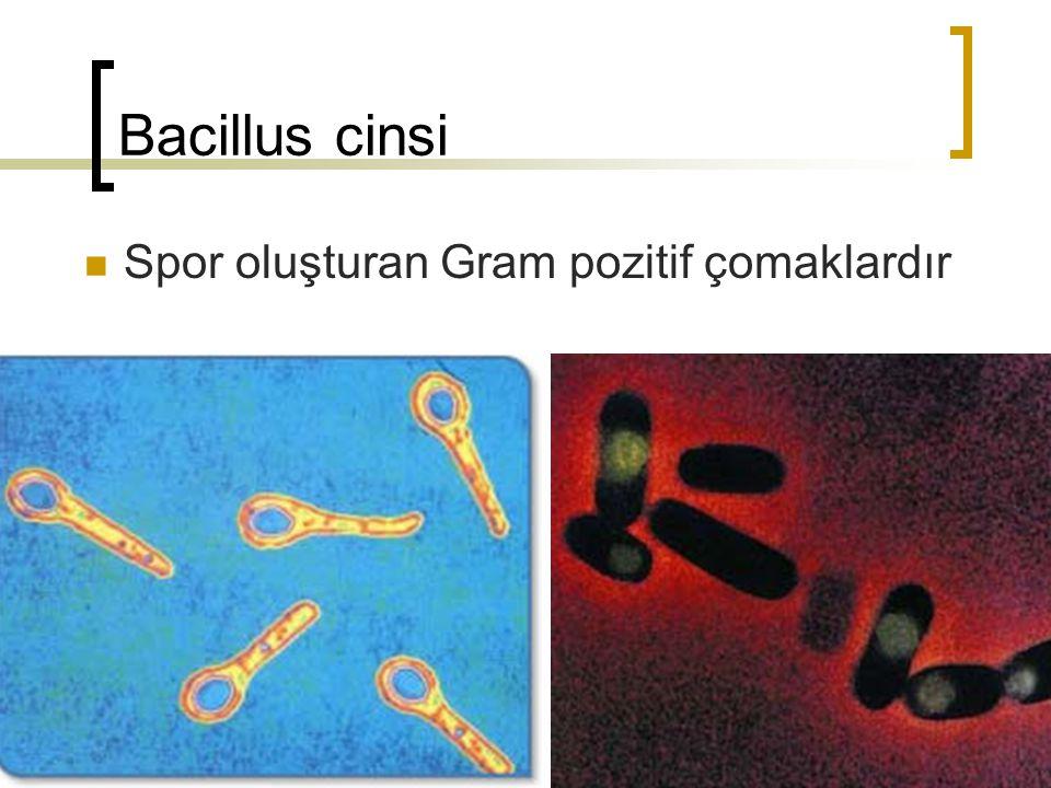 Bacillus cinsi 1.2-8 / 0.3-22 µm Sporlu Isıya dirençli Gram pozitif Aerop Genellikle hareketli Bazen zincirler oluştururlar