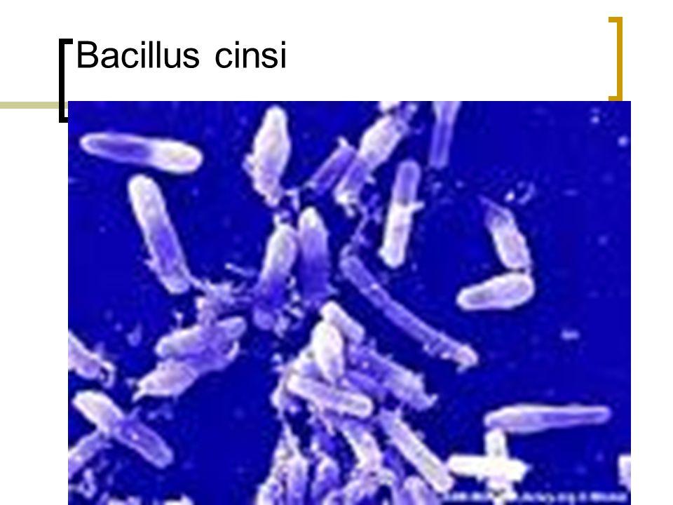 Bacillus cinsi