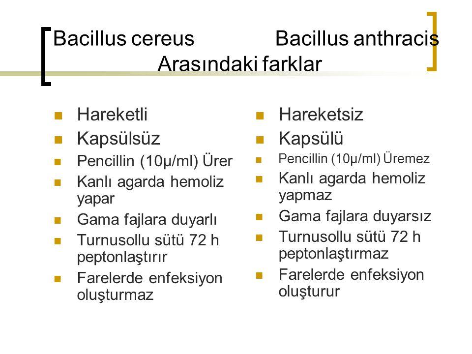 Bacillus cereus Bacillus anthracis Arasındaki farklar Hareketli Kapsülsüz Pencillin (10µ/ml) Ürer Kanlı agarda hemoliz yapar Gama fajlara duyarlı Turn