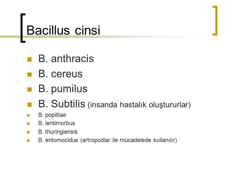 Bacillus cinsi B. anthracis B. cereus B. pumilus B. Subtilis (insanda hastalık oluştururlar) B. popilliae B. lentimorbus B. thuringiensis B. entomocid
