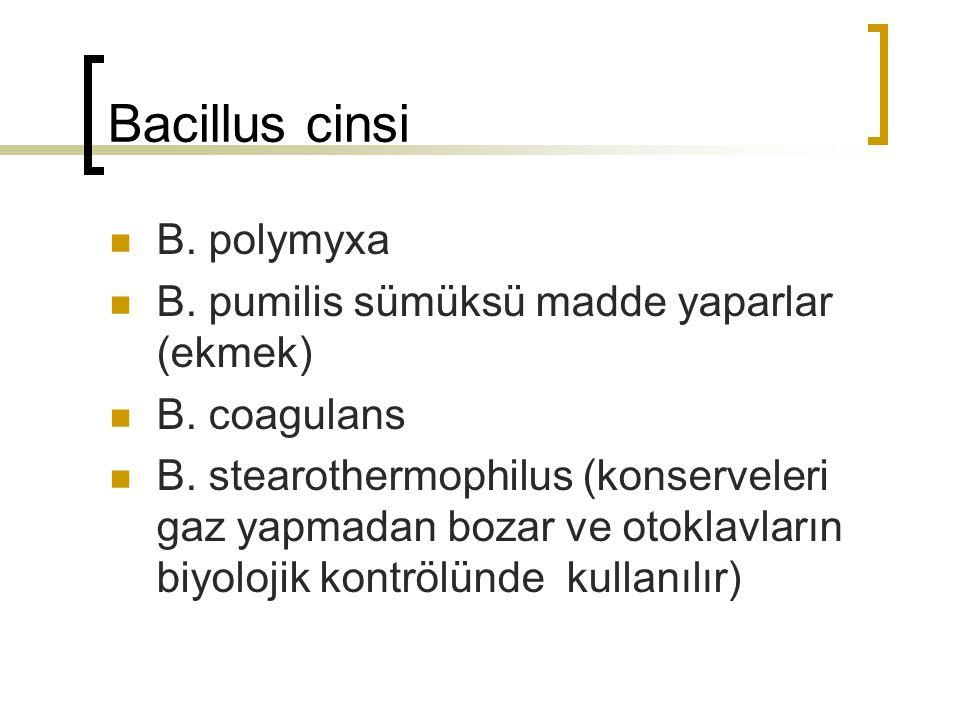 Bacillus cinsi B. polymyxa B. pumilis sümüksü madde yaparlar (ekmek) B. coagulans B. stearothermophilus (konserveleri gaz yapmadan bozar ve otoklavlar