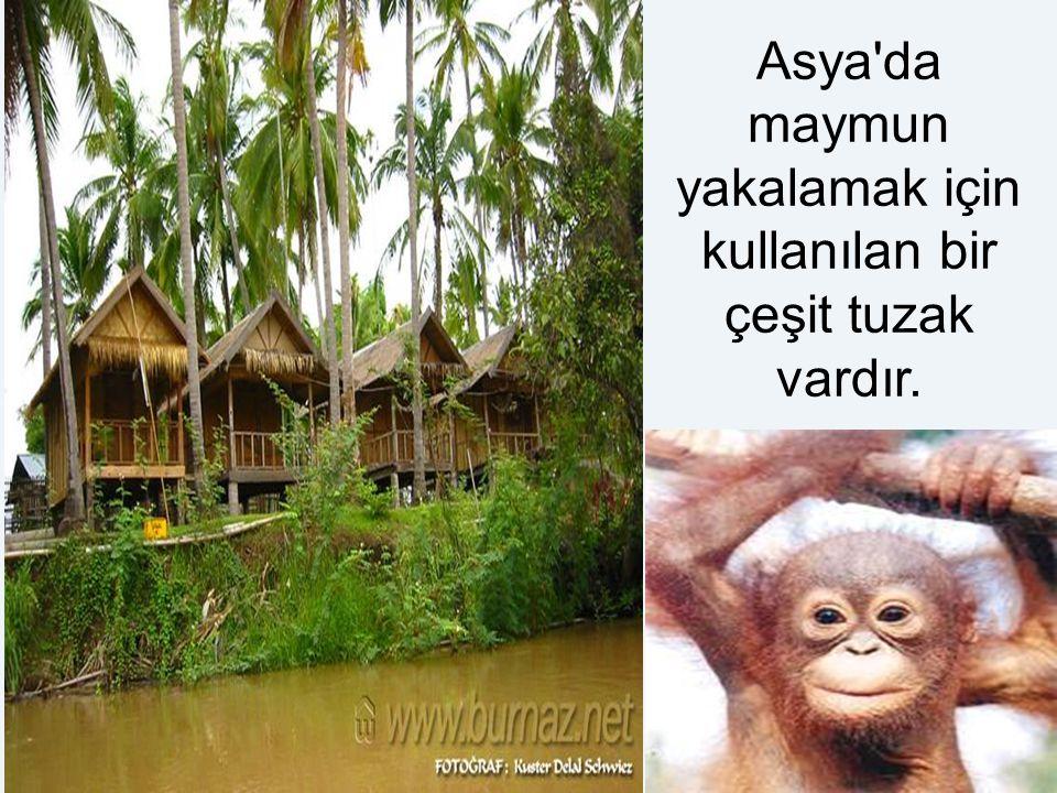 Asya'da maymun yakalamak için kullanılan bir çeşit tuzak vardır.