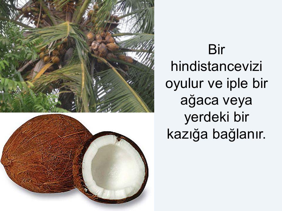 Bir hindistancevizi oyulur ve iple bir ağaca veya yerdeki bir kazığa bağlanır.