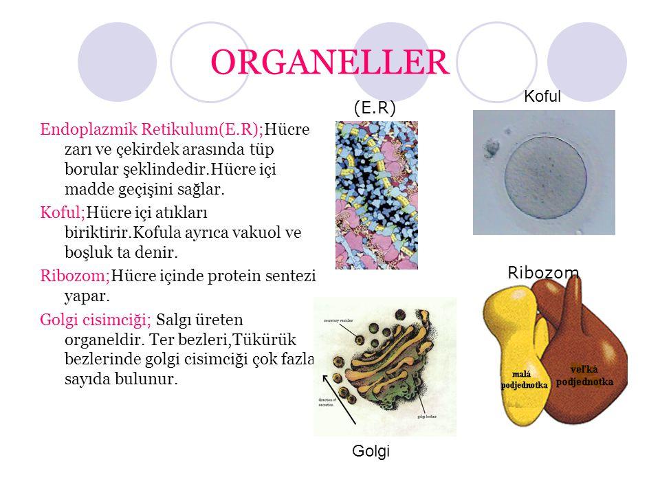 ORGANELLER Endoplazmik Retikulum(E.R);Hücre zarı ve çekirdek arasında tüp borular şeklindedir.Hücre içi madde geçişini sağlar.